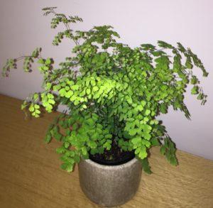 maidenhair fern indoor plant