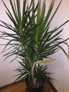 yucca indoor plant